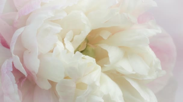 Close up view of a pale pink peony blossom opening. Macro shot of beautiful and delicate peony flower, layered petals in full bloom. 4k timelapse video