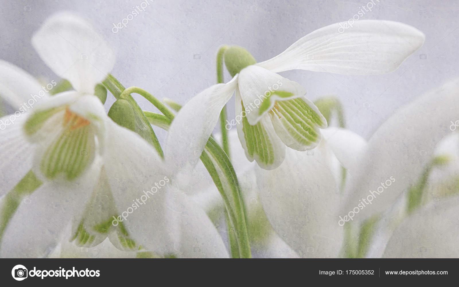 Campánulas Galanthus Pequeño Género Unas Especies Plantas Herbáceas ...