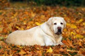 cute yellow labrador in the park in autumn