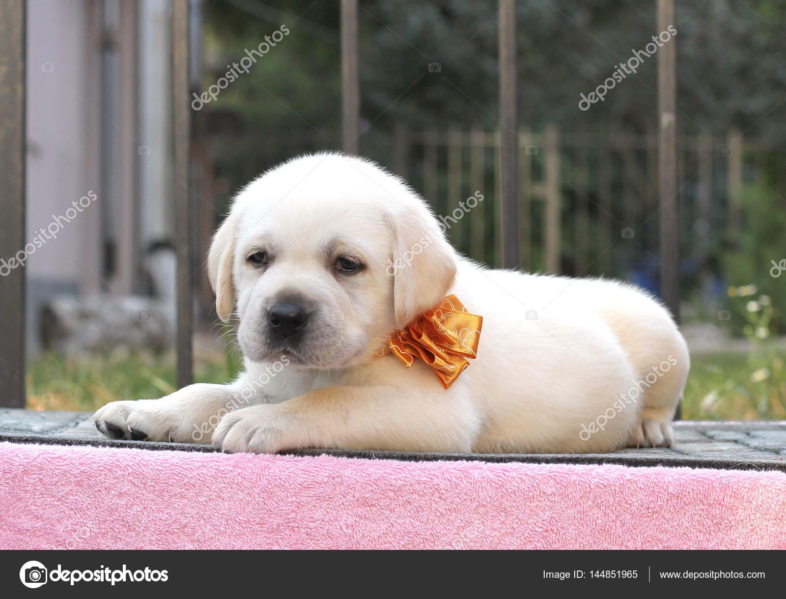 Pics Lebra Dogs Little Cute Labrador Puppy On A Pink Background Stock Photo C Yarvet 144851965