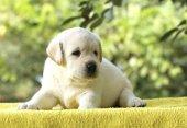 die kleine Labrador-Welpe auf gelbem Hintergrund
