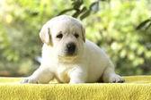 Labrador Welpen auf einem gelben Hintergrund