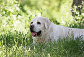 a cute yellow labrador in the park