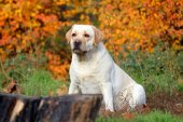 žlutý labrador v parku na podzim zblízka