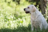 the cute yellow labrador in the park
