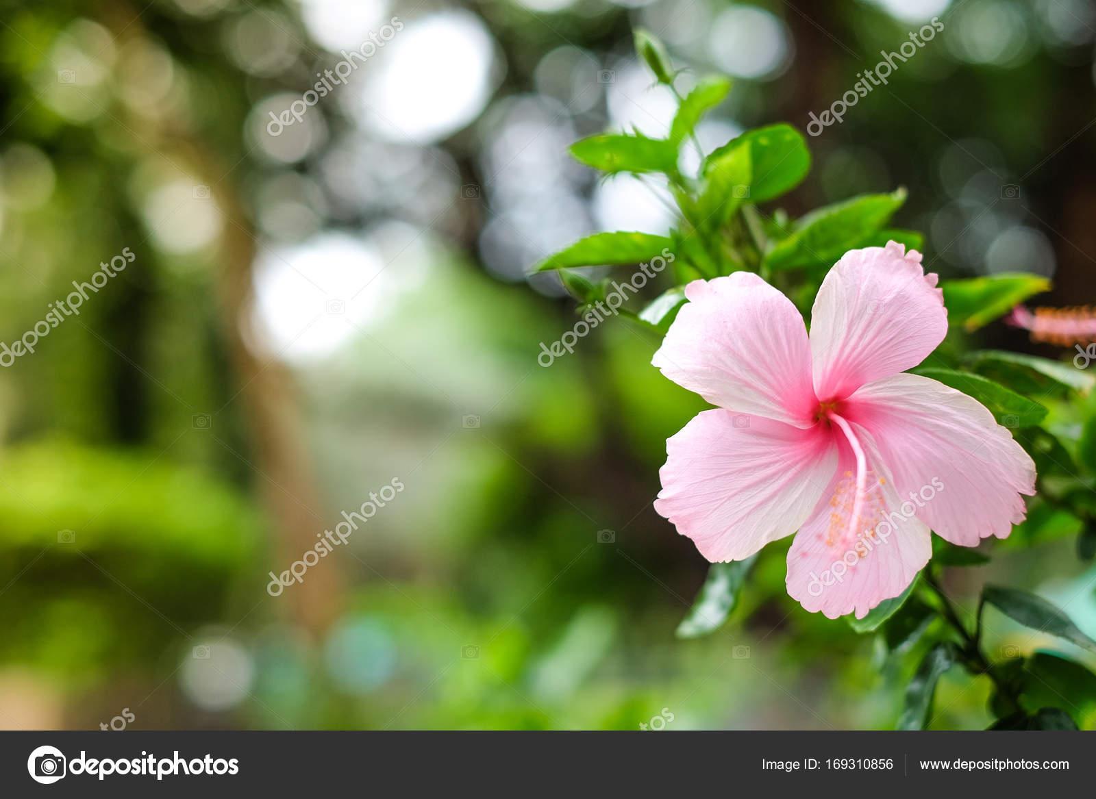 Hibiscus Rose avec des feuilles vertes qui fleurit dans le jardin ...