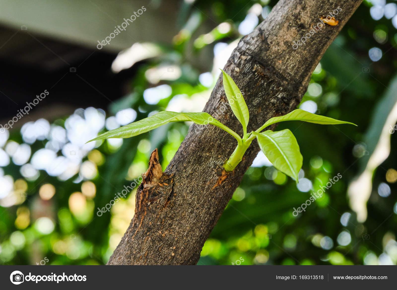Rama Y Hojas De Mango En El árbol De Mango