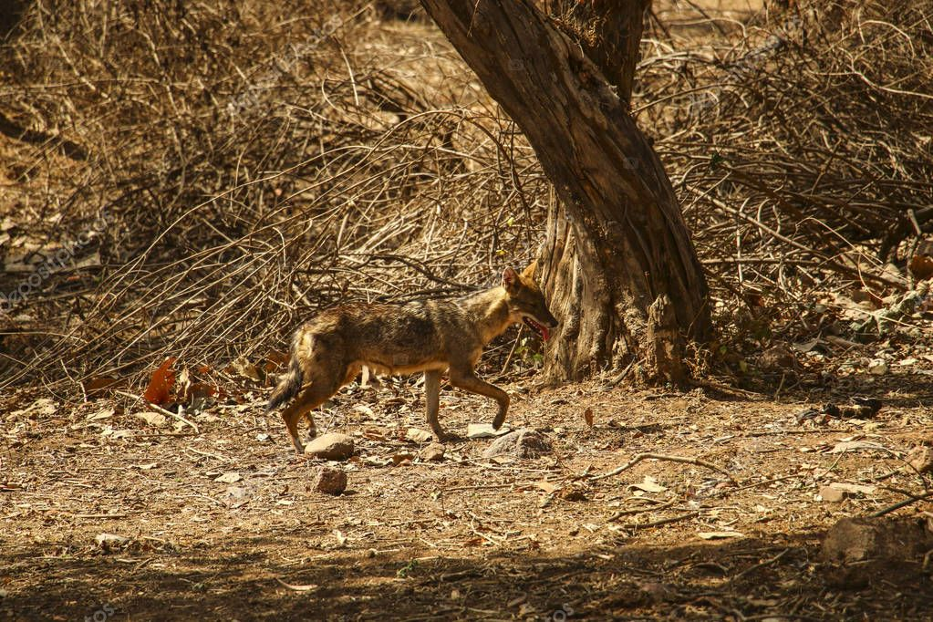 Young coyote in the sunlight in National Park near Khajuraho, In