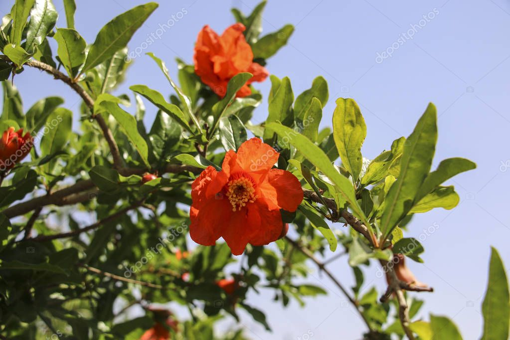 Pomegranates tree with red flowers at blue sky background