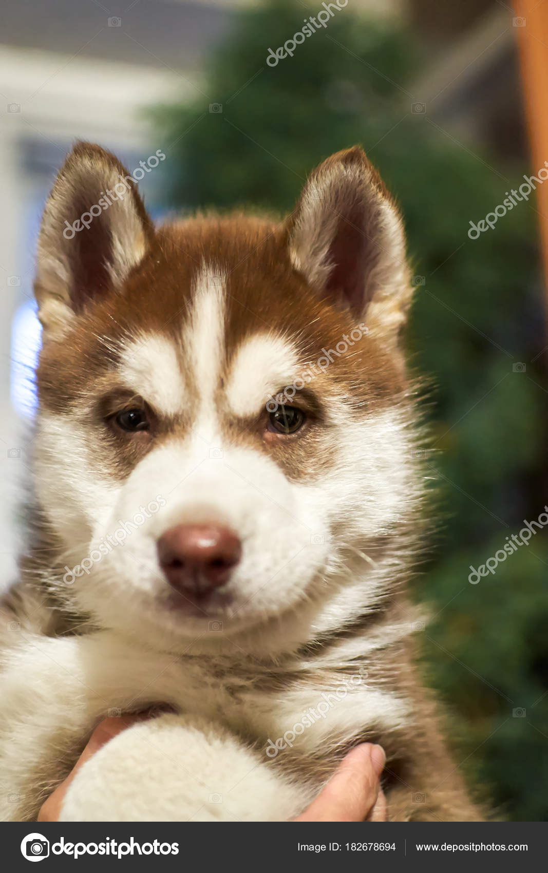 Pretty Husky Little Puppy Sits On Hands And Looking At Camera