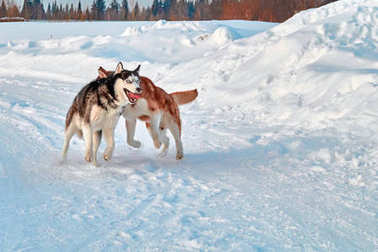 Walk with crazy pets. Siberian husky playing on winter walk. Husky dogs bite and push in snow.