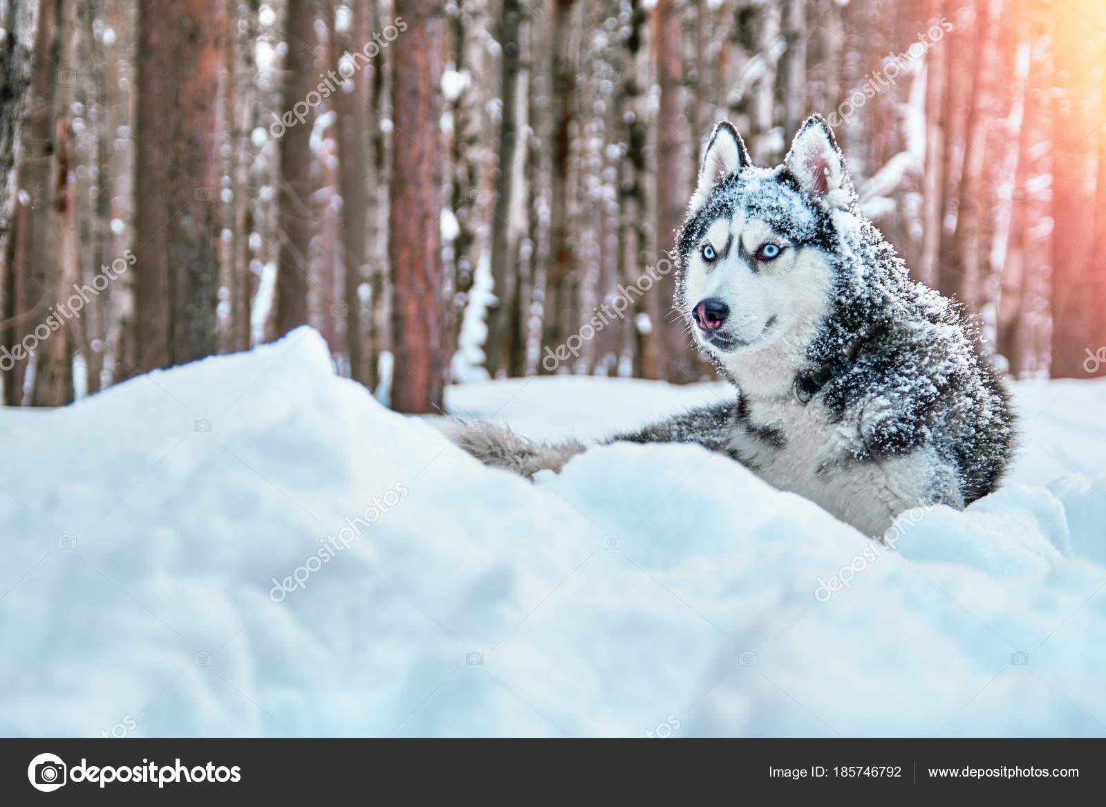 Nieve Azul Amigo Bonito Color De Siberian Husky Perro Blanco Y