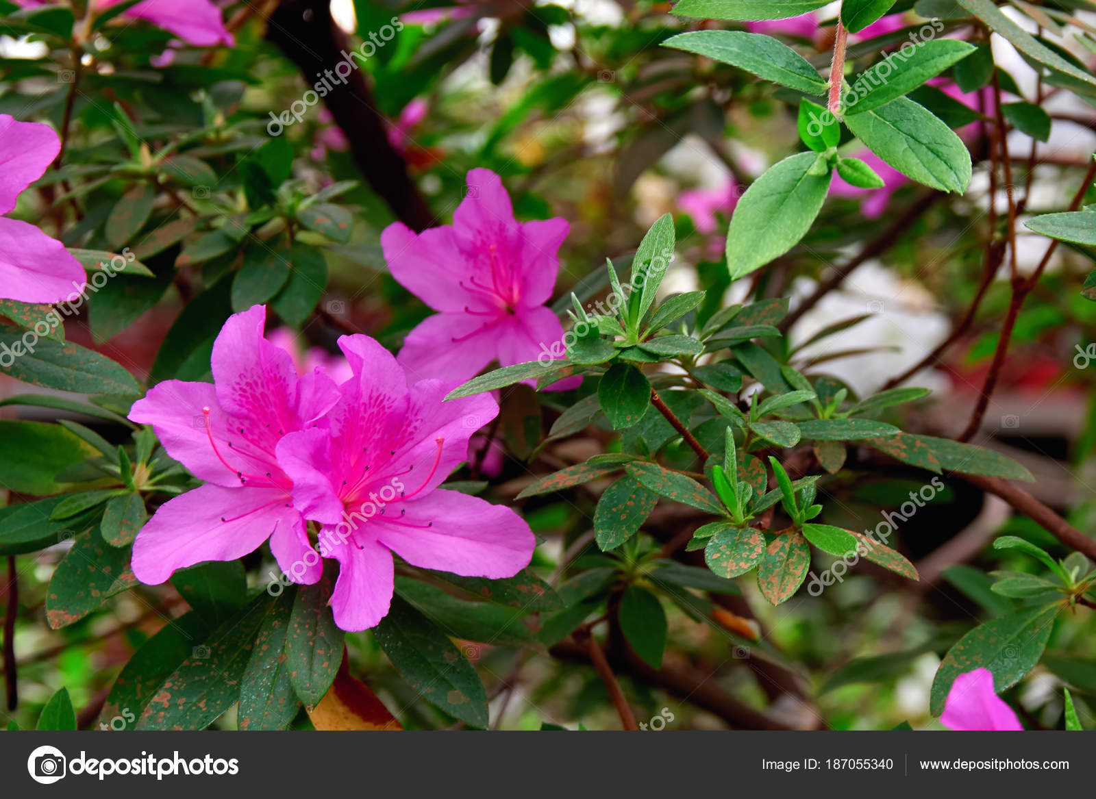 Flowers Azalea In Spring Garden Beautiful Potted Plant With Pink