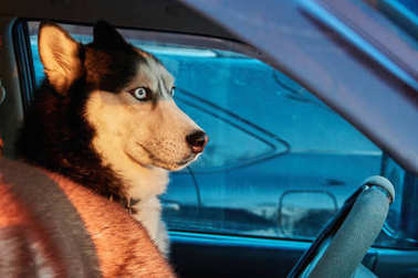 Dog looks out car. Siberian husky sits in car and looks. Bright sunset light winter sun. Concept traveling with pet.