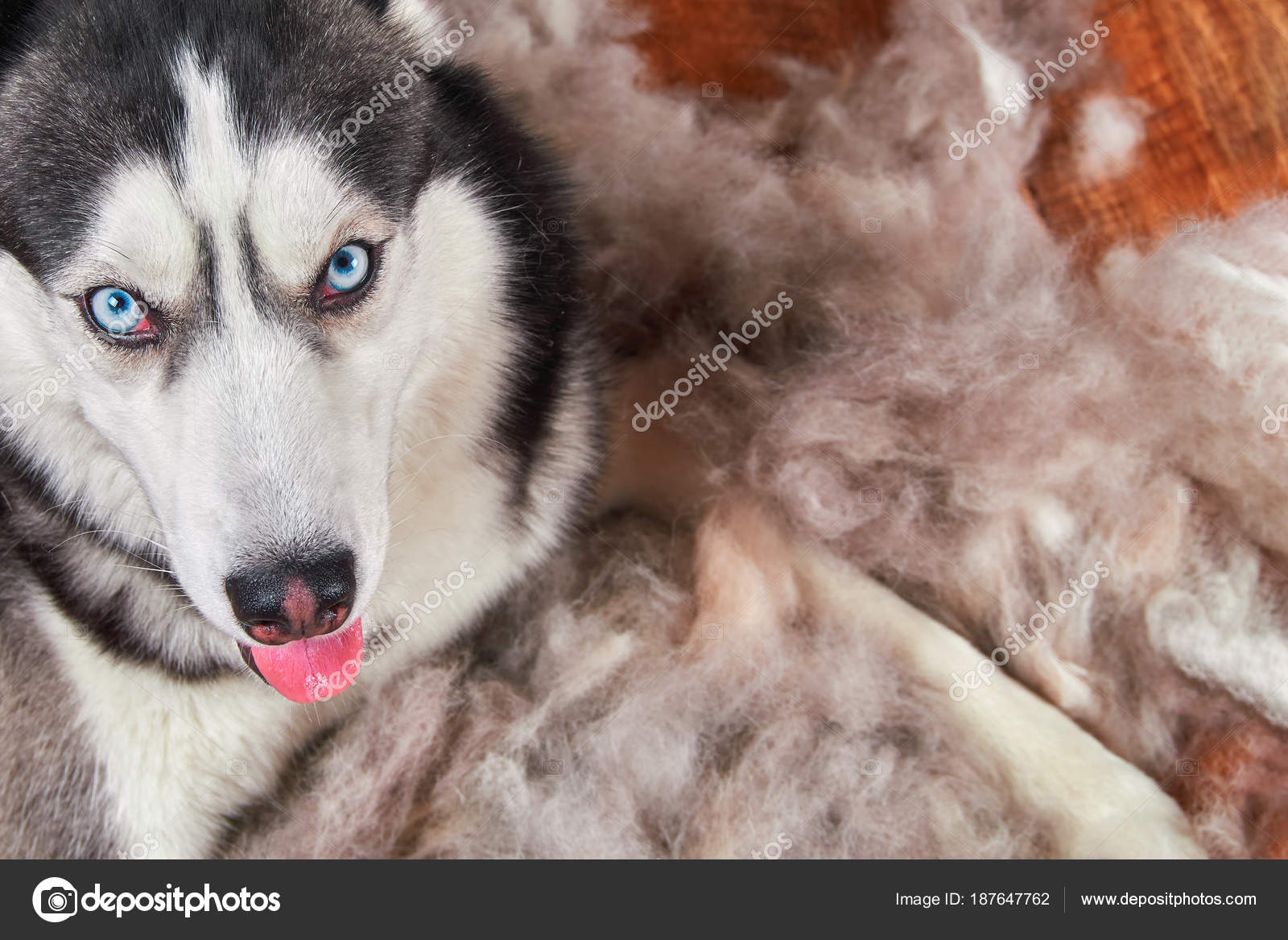 Concept Annual Molt Coat Shedding Moulting Dogs Siberian Husky