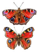 akvarell illusztrációk rovarok - páva pillangók