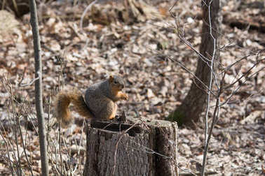 Squirrel sitting on a stump