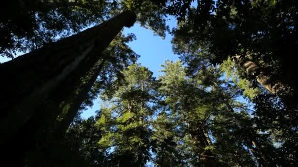 California Redwood Nationalpark Lady bird Johnson, die Grove Baumwipfel nach unten kippen
