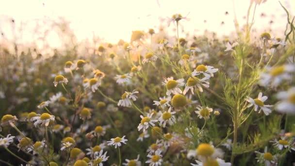 camomile tea flowers