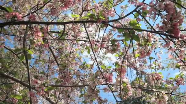 hanging cherry blossom flowers