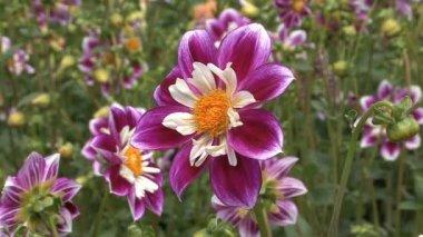 teljes kivirult lila és fehér őszirózsák