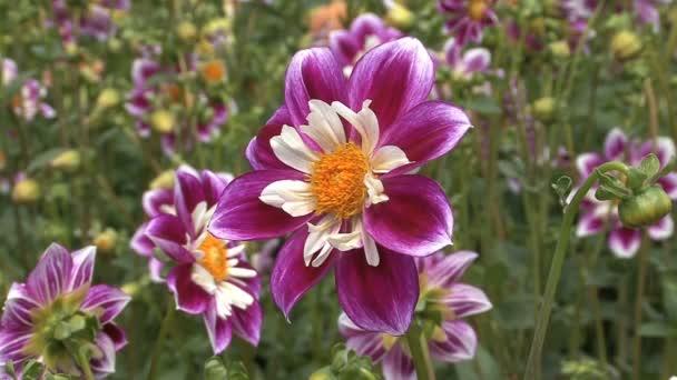 volle blühten lila und weißen Astern
