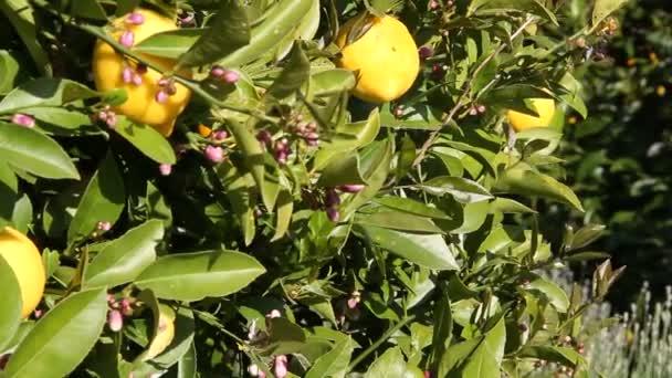 citrony lemon tree snímku železniční shot