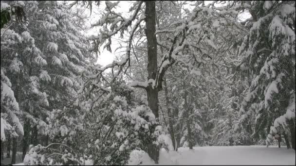 oregon snow falling on oak tree and evergreens