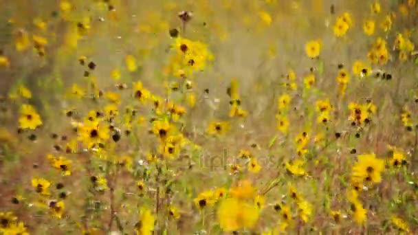 Sunny slunečnicové pole