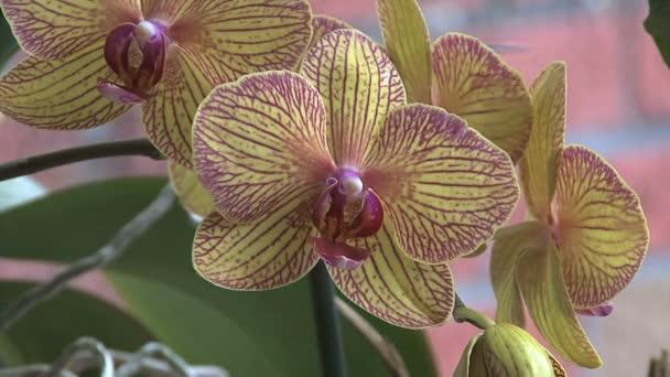 žluté a růžové orchideje