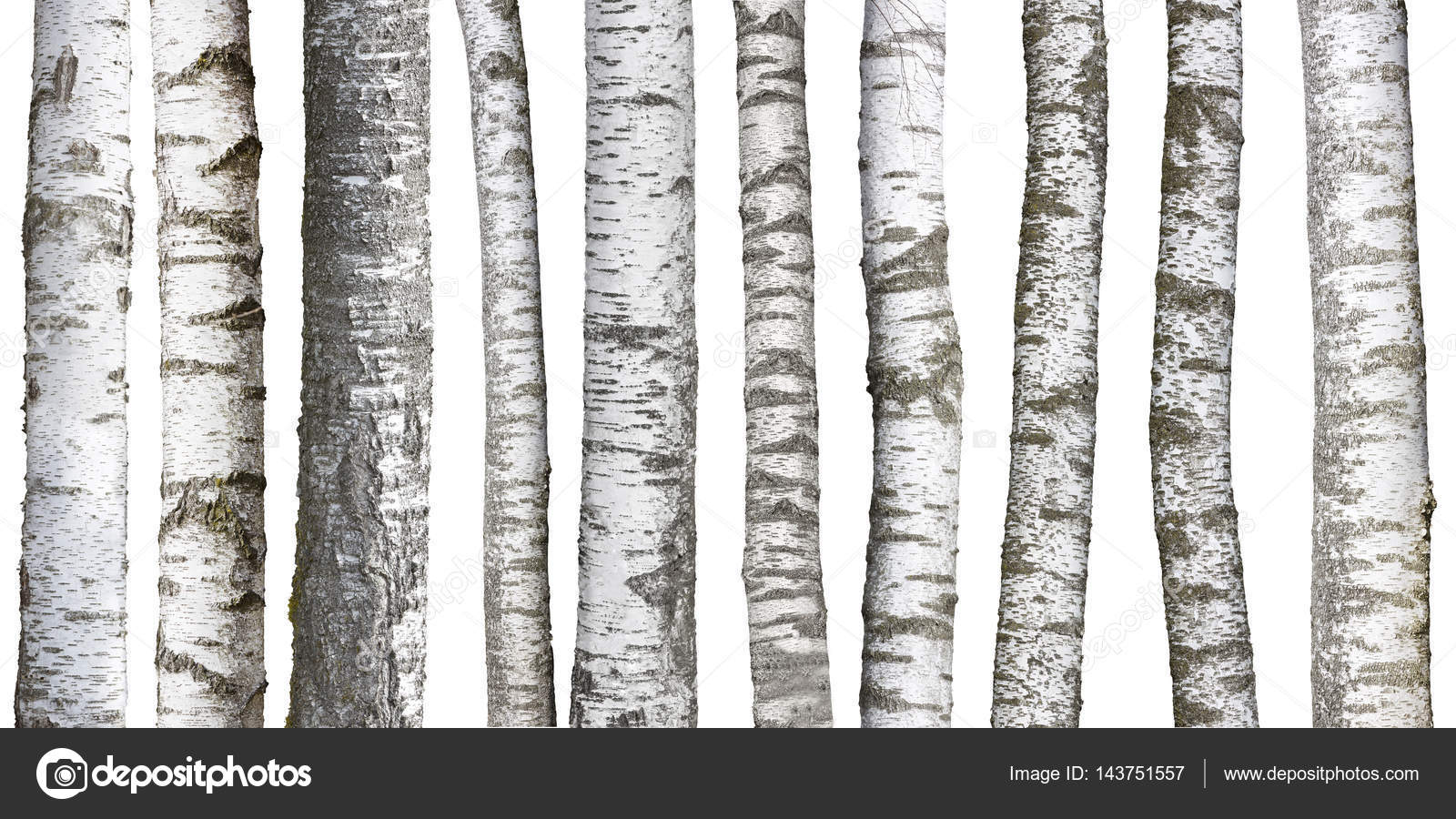 Birch tree trunks isolated on white background  Photo by haraldmuc