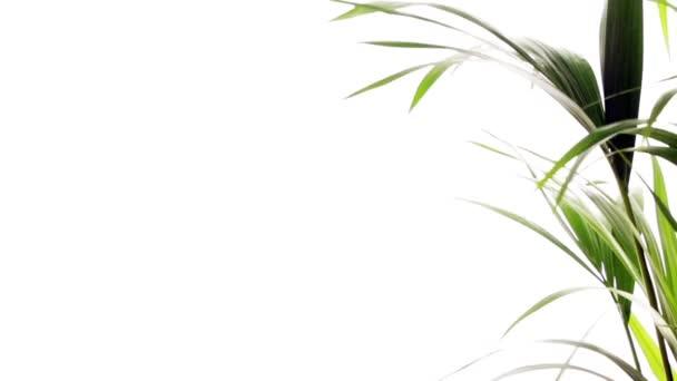 A szél a lengő Palm fa levelei.