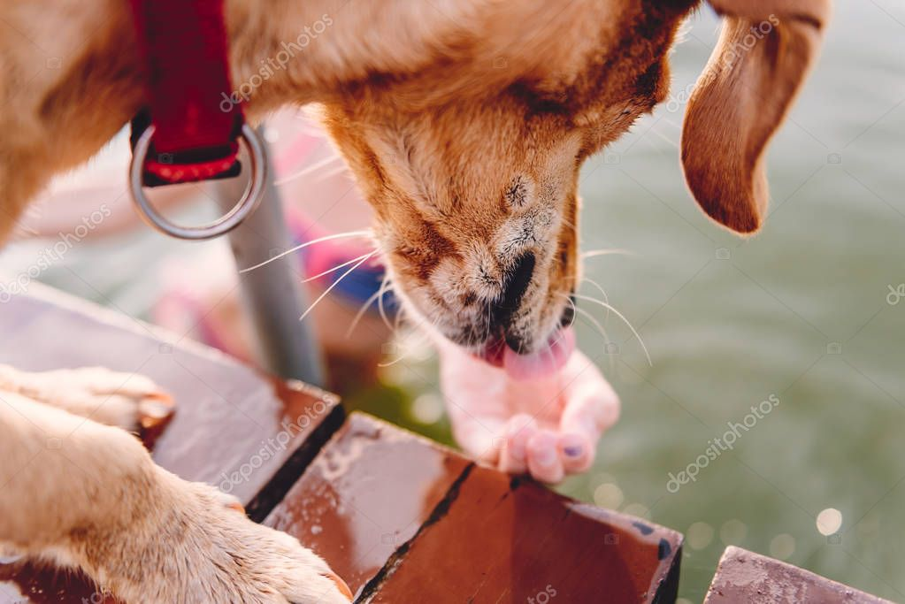 Small yellow standing on the dock and licking water from owner hand