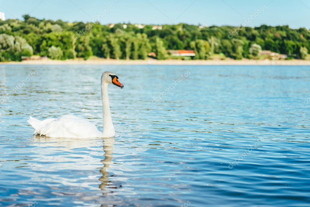 Swan On River In Sunny Day
