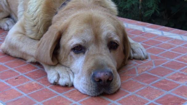 4K Male labrador dog posing