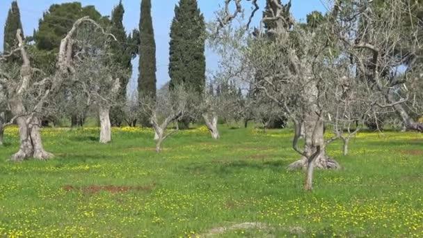 4 k jarní květy. Olivovníky mezi divoké květy