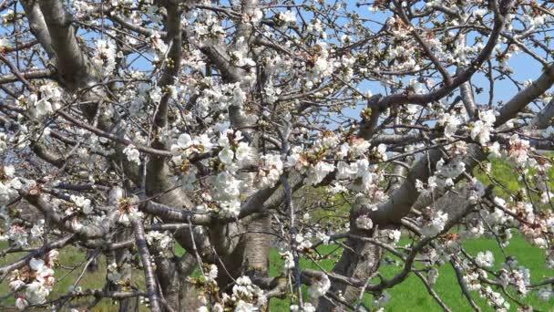 4 k tavasszal virágzik. Cseresznyefa virágzás