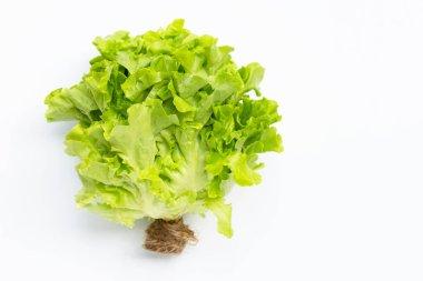 Green Oak Lettuce on white background. Copy space