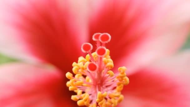 Hibiszkusz virágok közelről
