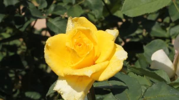 Žlutá růže v zahradě