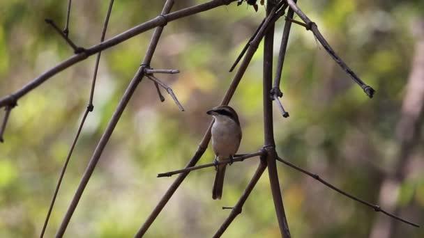 Ťuhýk hnědý (Lanius cristatus) A malý pták v rodinné Laniidae stěhovaví ptáci migrují žít v Thajsku