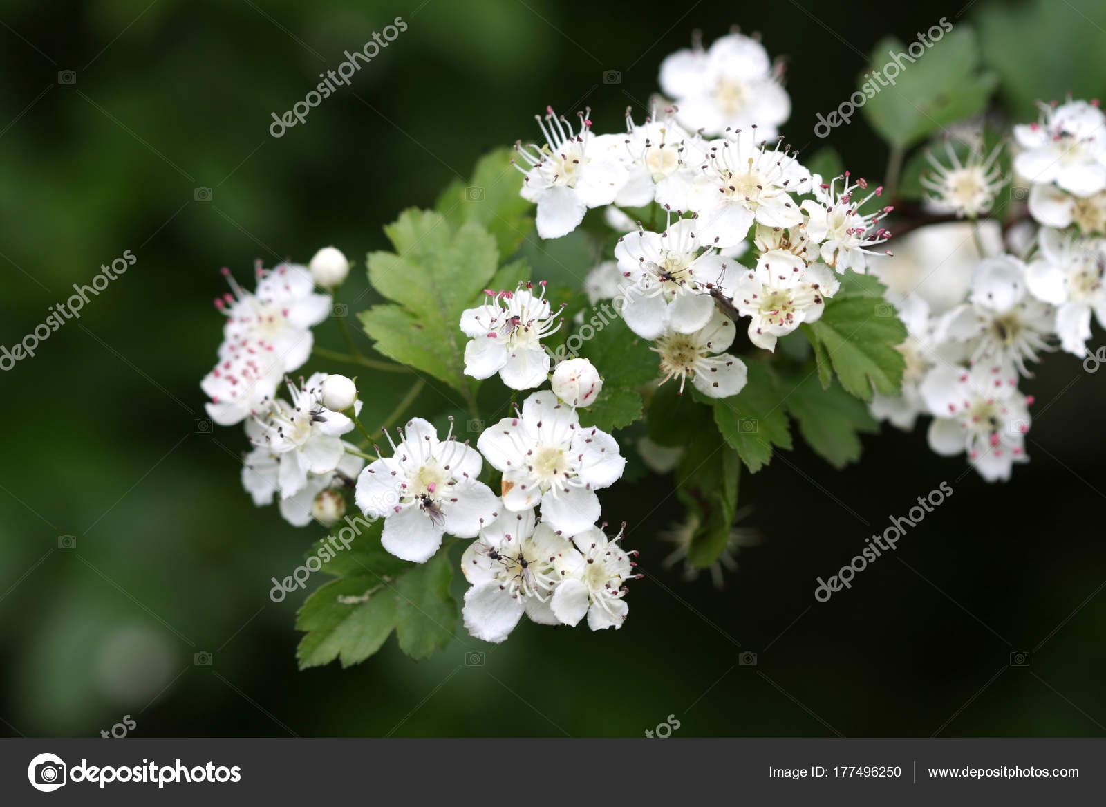 White Hawthorn Bloom Garden Stock Photo Kasparart 177496250