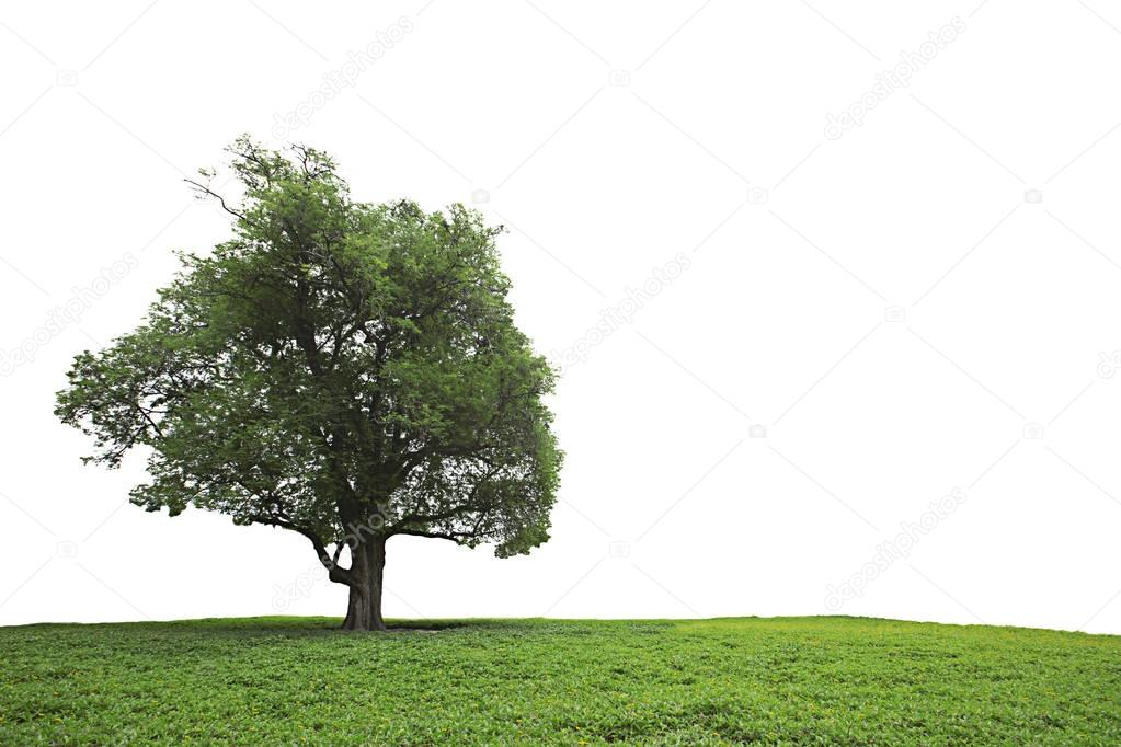 Isolated tamarind tree