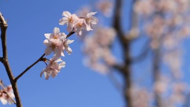třešňový květ Kawazuzakura mělké zaměření za třešeň v Aizenin chrámu v Nerima. Jeho třešňový květ v Tokiu. fotoaparát: Canon Eos 7d
