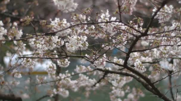 Třešňový květ. Jeho třešňový květ v Japan.camera: Canon Eos 7d