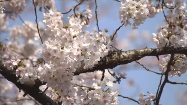 Třešňový květ blízko zastřelil těžké vítr / jeho třešňový květ v Tokiu. fotoaparát: Canon Eos 7d