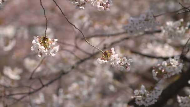 Třešňový květ zblízka / jeho třešňový květ v Tokiu. fotoaparát: Canon Eos 7d