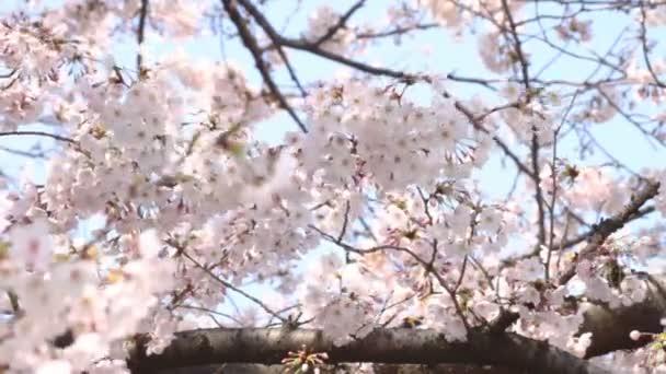 Třešeň s brunche těžké vítr. / Jeho třešňový květ v Tokiu. fotoaparát: Canon Eos 7d