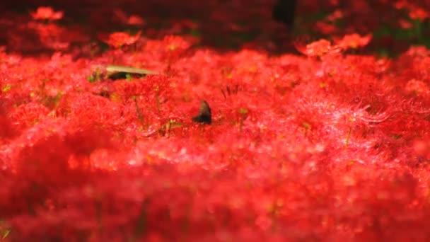 clusteru Amarylis / jeho přírodní lokalita v Japonsku. 4k  čas zanikla. fotoaparát: Canon Eos 7d