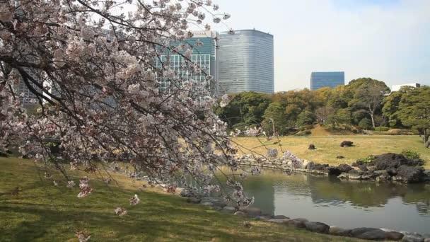 Třešeň za budovou střední střílel na Hamarikyuu park / jeho přírodní lokalita v Tokiu. fotoaparát: Canon Eos 7d